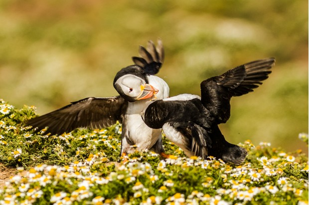 Like any animal, puffins can exhibit violent and aggressive behaviours when fighting for territory or dominance. In this fight, both puffins locked bills and twisted its opponent viciously. © Becky Bunce.