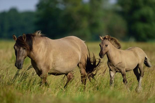 Wild konik horses in Poland. © Solvin Zankl/Rewildling Europe