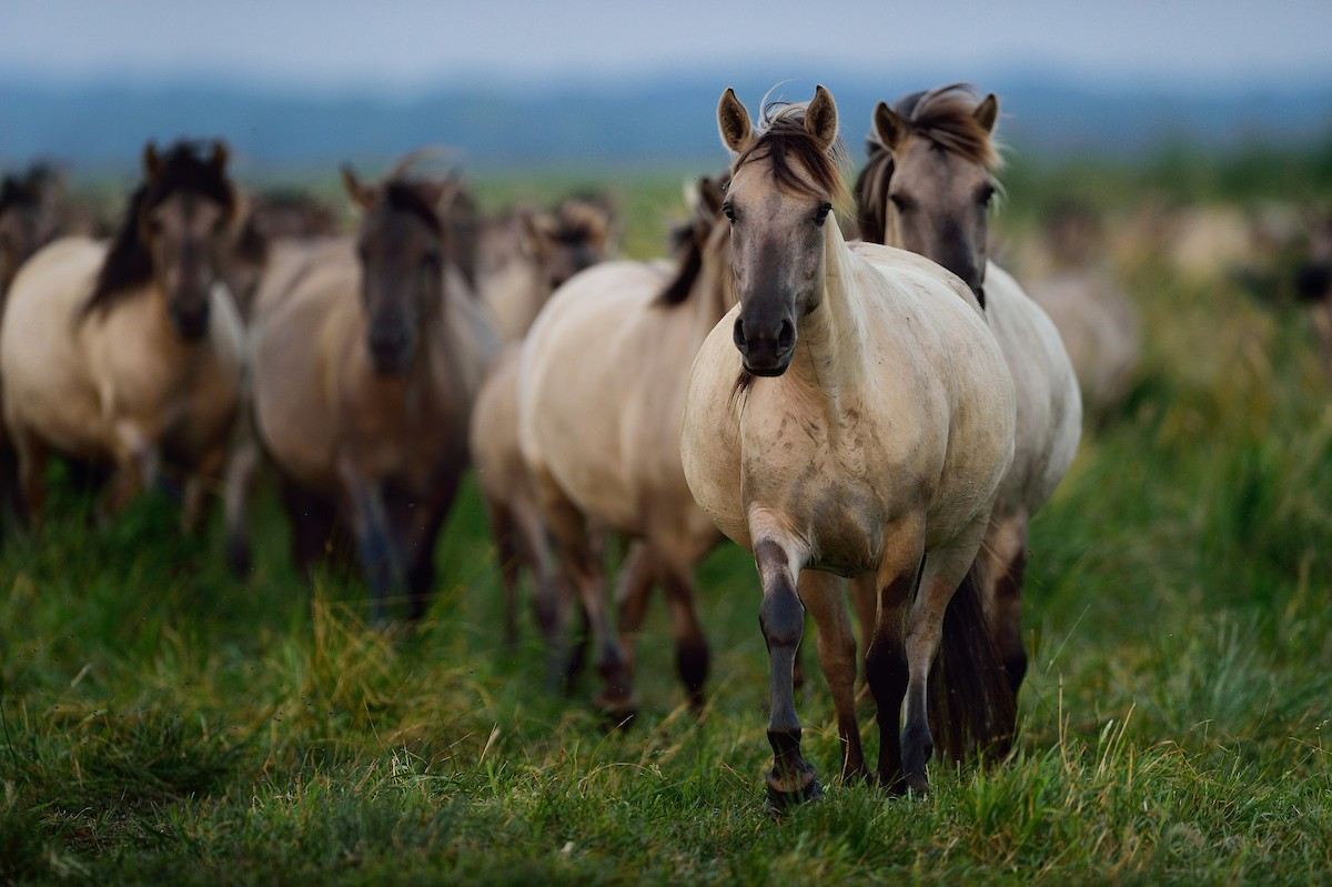 Wild konik horses in Poland