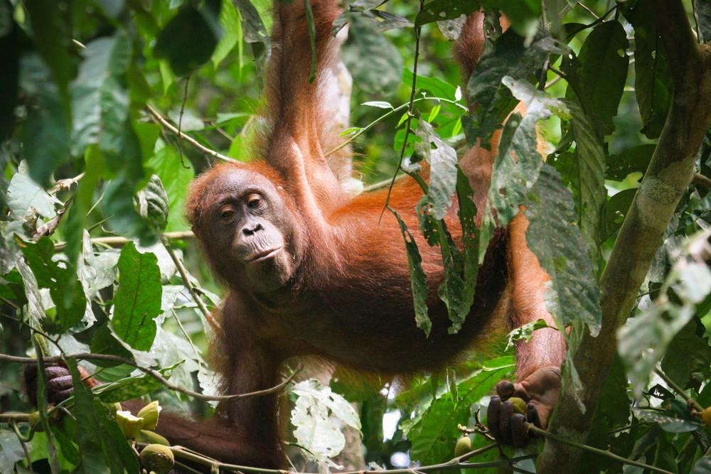Bornean orangutans in Sabah.