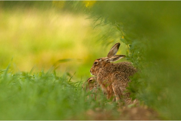 Mammals of the UK Category Highly Commended: Two hares sheltering. © Jenny Hibbert.