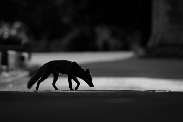Young Mammal Photographer of the Year, aged 16-18 Category Winner: Urban fox. © Kyle Moore.