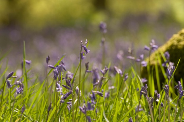 Bluebells in mixed broadleaved woodland at Westonbirt. © Forestry England