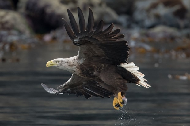 White-tailed eagle with fish. © Mike Crutch