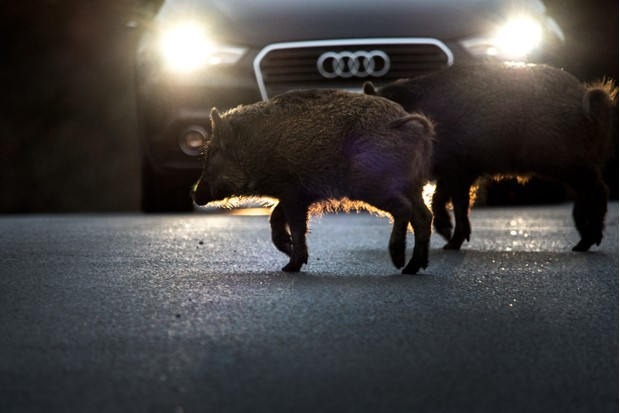 Mammals of the UK Highly Commended Category Highly Commended: Wild boar. © Nick Gate.