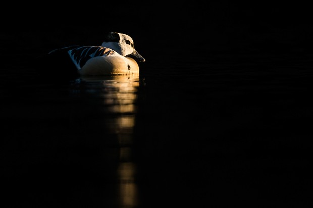 Young Bird Photographer of the Year Category second place: Gold in cold water. © Carlos Naval.