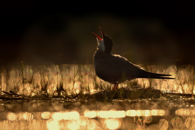Young Bird Photographer of the Year Category Winner: Calling for the Sun. © Ondrej Pelanek.