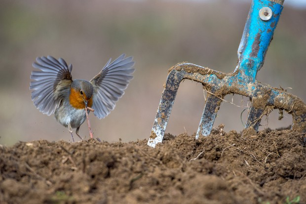Garden and Urban Birds Category Winner: Robins snack. © Nikos Bukas/Bird Photographer of the Year.