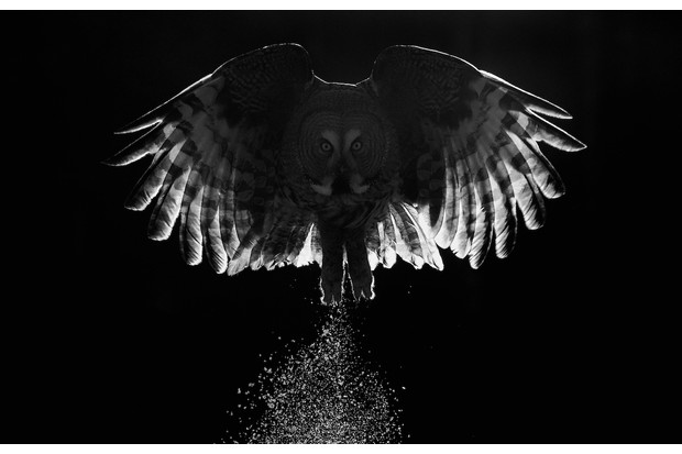 Part of Best Portfolio Category Winner: Creative study of great grey owl. © Markus Varesvuo.