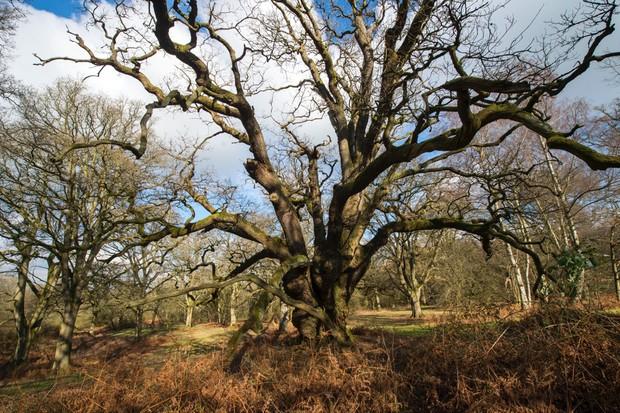 Oak tree. © Blenheim Palace