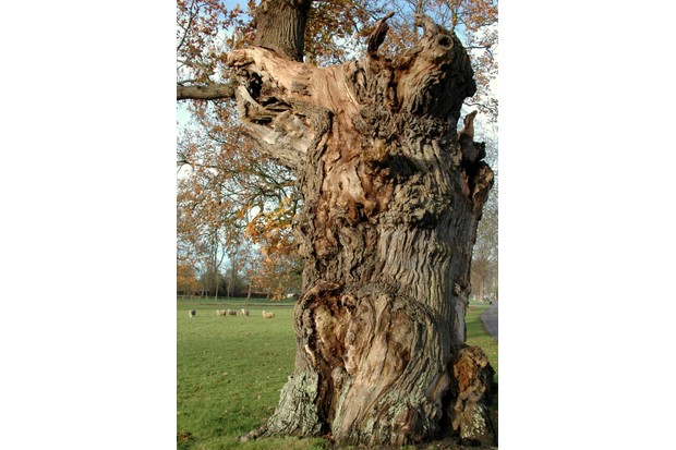 Ancient oak tree © Blenheim Palace.