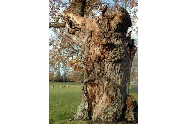Ancient oak tree © Blenheim Palace.