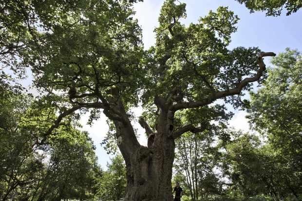 King oak being surveyed © Blenheim Palace.