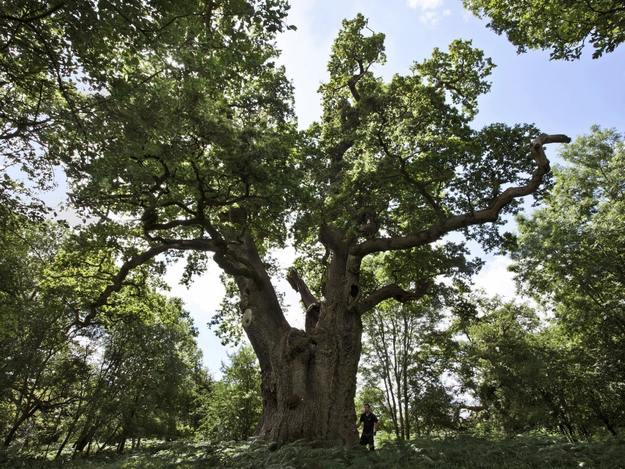 King oak being surveyed © Blenheim Palace.