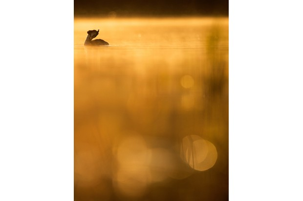 Young Bird Photographer of the Year Overall Winner: Crested Grebe Morning. © Johan Carlberg/Bird Photographer of the Year.