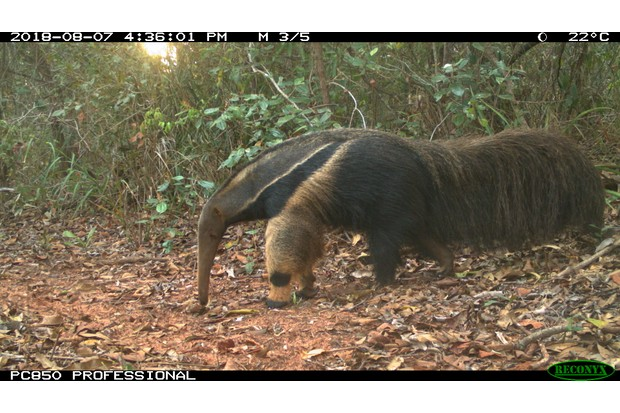 Giant anteater photographed with a trail camera. © Vinicius Alberici/ZSL