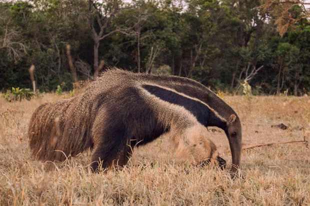 Giant anteater. © Vinicius Alberici/ZSL