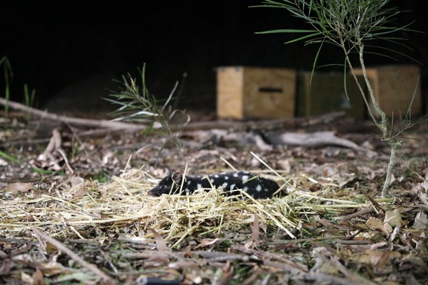 Eastern quoll being released to the wild. © Aussie Ark