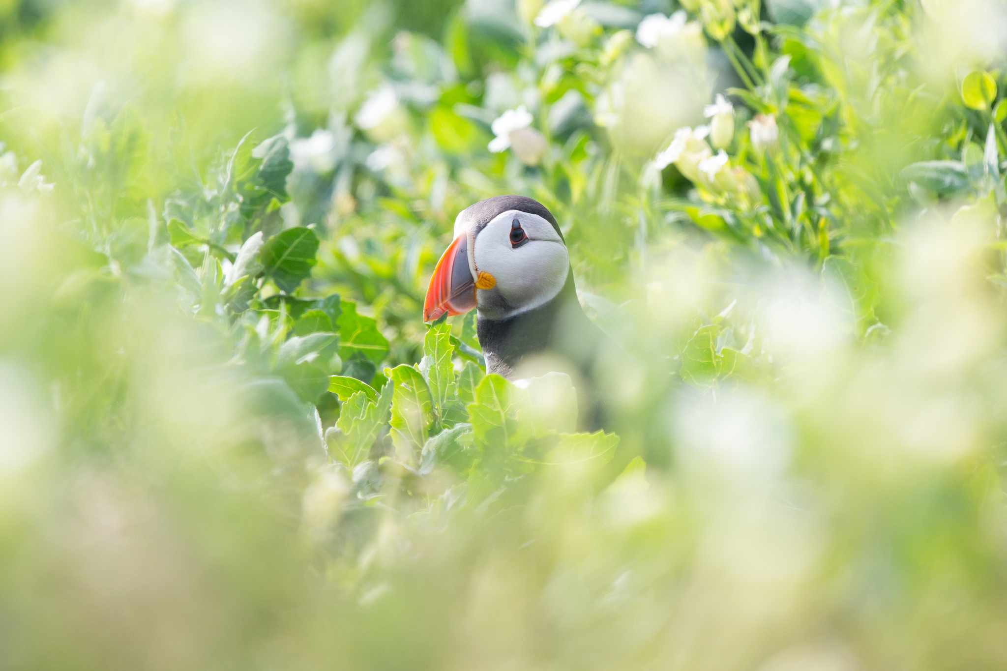 When the puffins land onto breeding islands in April, they're often a little nervous as they return and check their burrows. This puffin was walking in and out of burrows for almost 10 minutes- maybe he had forgotten which was his! © Danielle Connor
