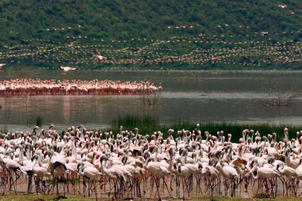 Lesser flamingos gather at Lake Bogoria, Kenya. © Neil Harvey/Dragonfly Film TV Ltd