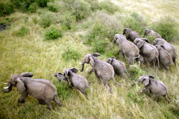 The Mara Elephant Project team follow a herd of elephants in order to treat one for injuries received following a conflict with a local farmer, in Kenya, Africa. © Neil Harvey/Dragonfly Film TV Ltd