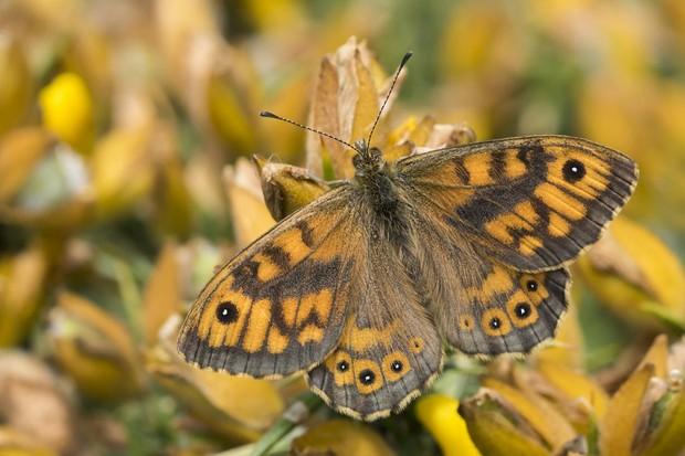 Wall butterfly. © Bob Eade/Butterfly Conservation