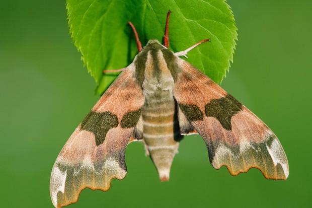 Lime hawk-moth. © Adam Gor/Butterfly Conservation