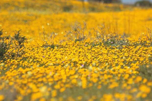 Marigolds. © Philip Precey/Wildlife Travel