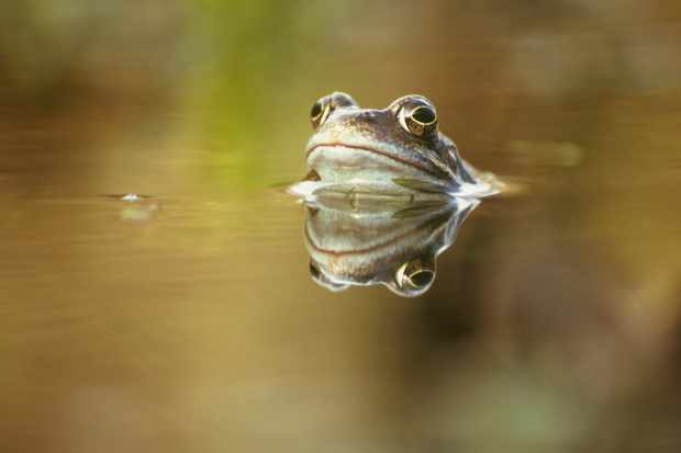 Common frog. © Greg Hitchcock