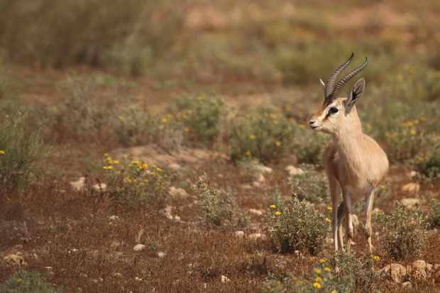 Dorcas gazelle. © Philip Precey/Wildlife Travel