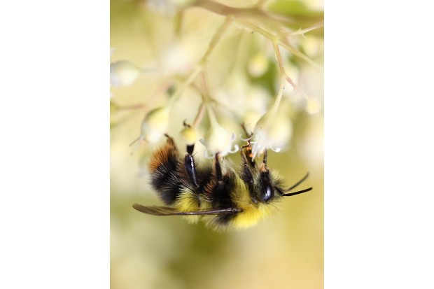Male early bumblebee. © Patricia Dove