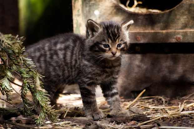 Scottish wildcat kitten. © Linda More.
