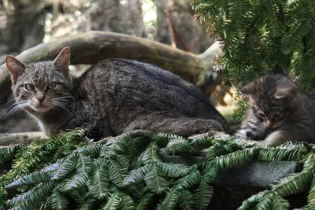 Scottish Wildcat mother and kitten playing. © Linda More/Getty.