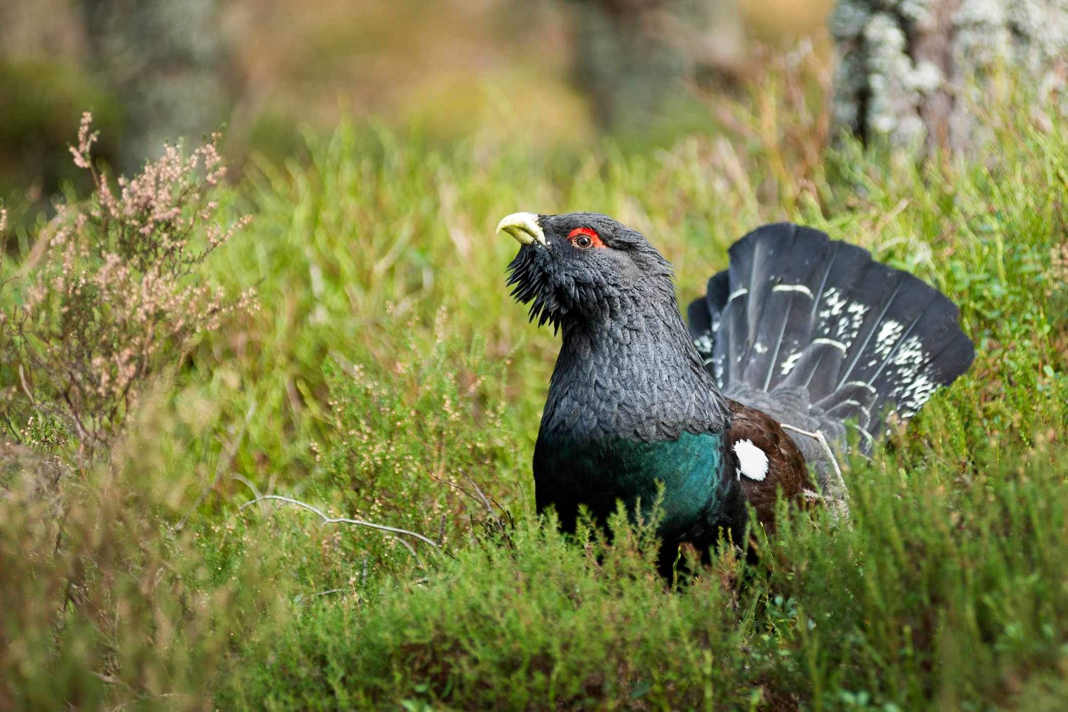 Male capercaillie in a Caledonian pine forest. © Bob Falconer/Getty