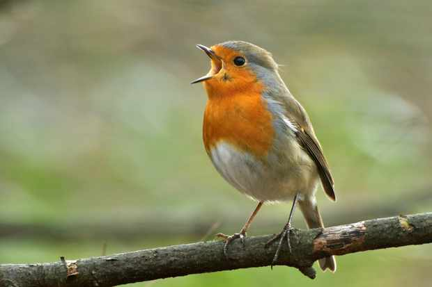 Songbirds have an unusual extra chromosome