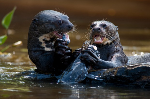 Giant otters eating a catfish in the Piquiri river, Brazil. © Fernando Quevedo/Getty