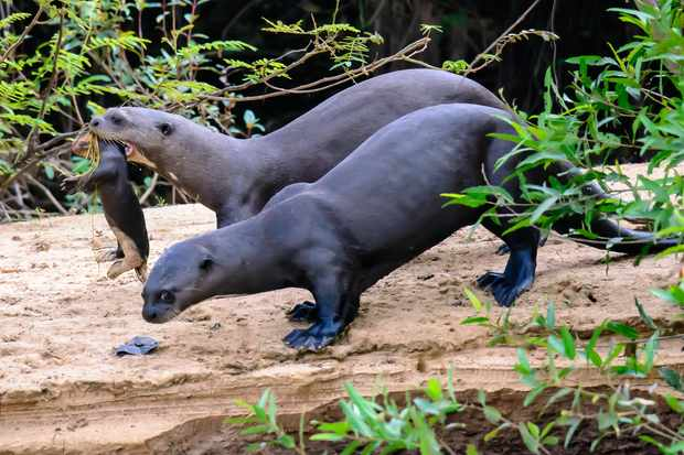 Giant otter family with a kit moving den. © Trevor Platt/Getty