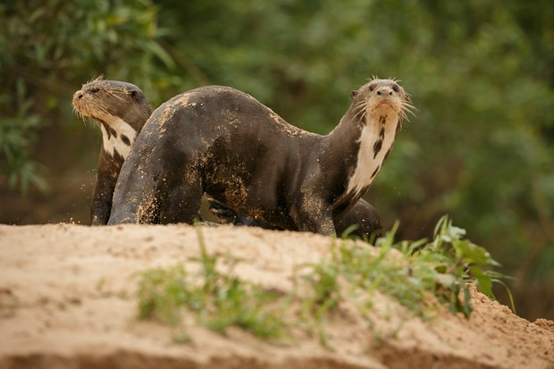 Giant otter in Brazil. © Photocech/Getty