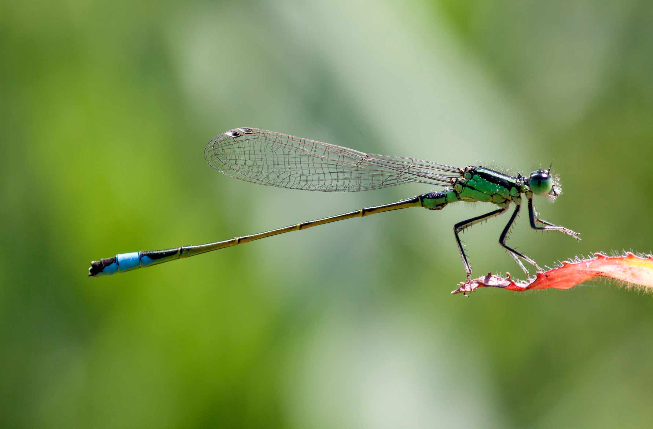 Blue-tailed damselfly. © Mauvries/Getty