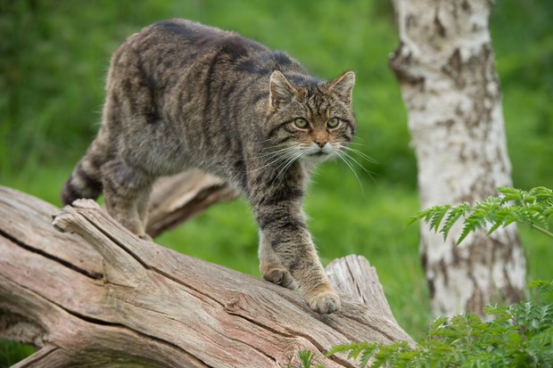 Scottish wildcat stalking along a tree trunk. © davemhuntphotography/getty.