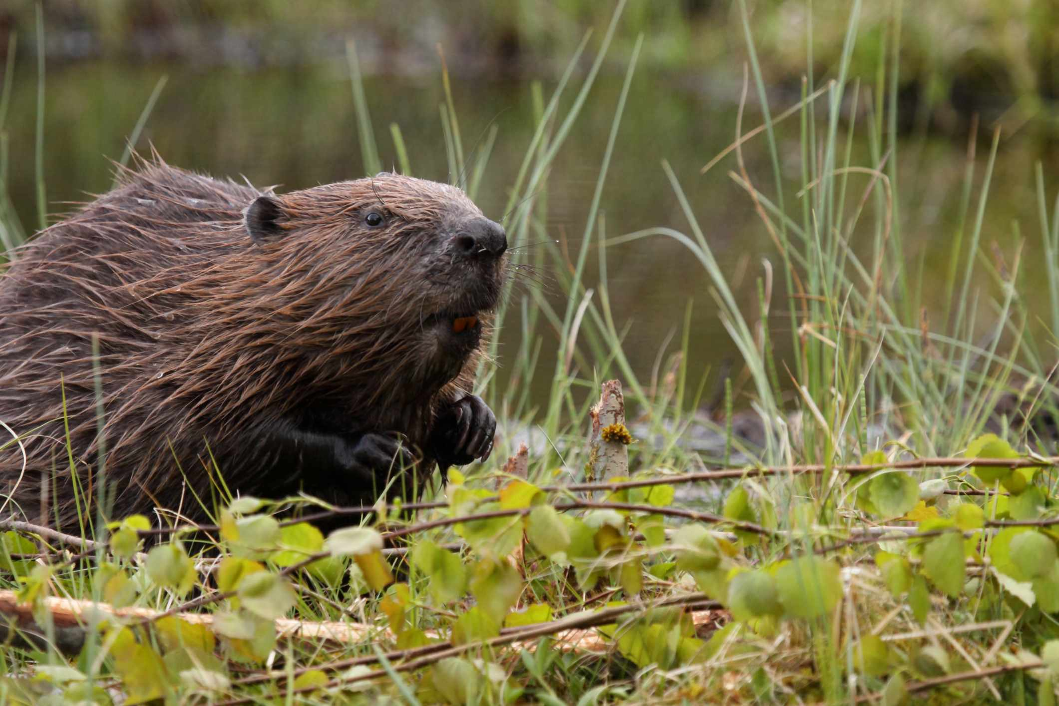 European beaver. © Alasdair Sargent/Getty