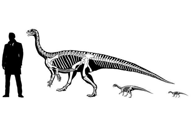 Growth series of Mussaurus. © Dr Andrew Cuff