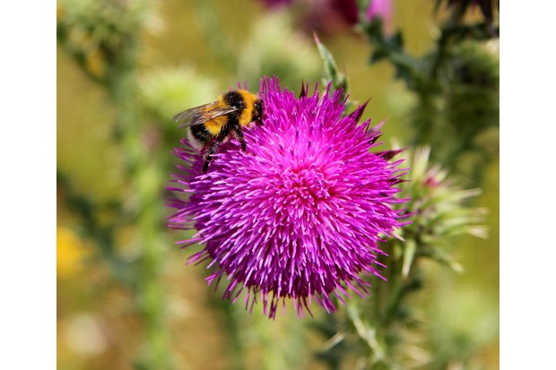 Heath bumblebee. © Roderick Dunn