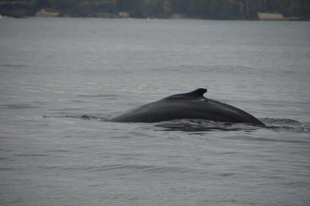 Humpback whale. © Ewen Mowat