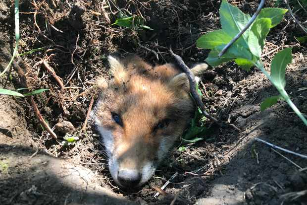 Rescuers dig out fox in a hole