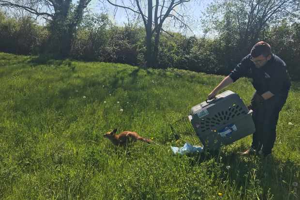 After its ordeal the rescued fox was happy to be freed into a near by field © RSPCA.
