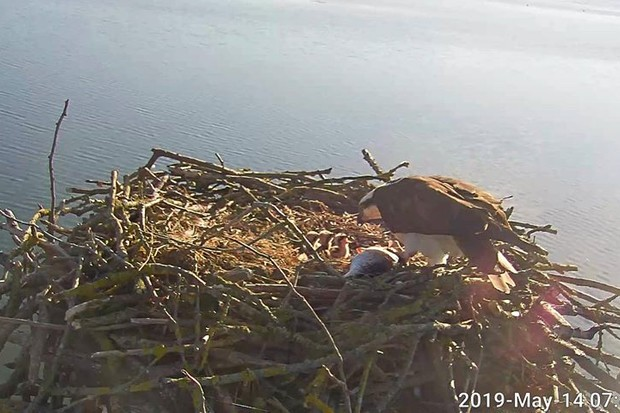 150th osprey chick hatches at Rutland Water Nature Reserve