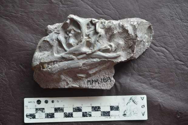 Mussaurus juvenile skull. © Dr Andrew Cuff