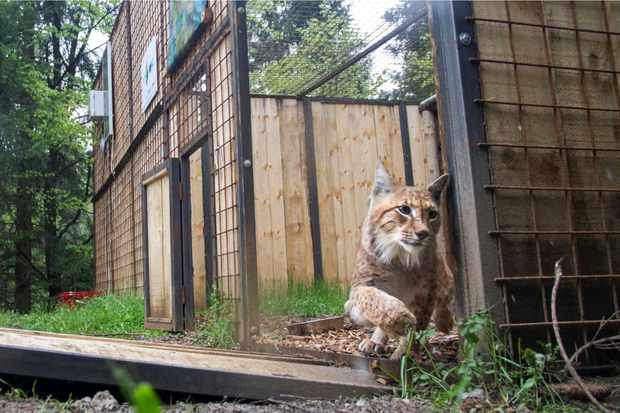 Lynx translocated to Slovenia and Croatia to save an endangered population
