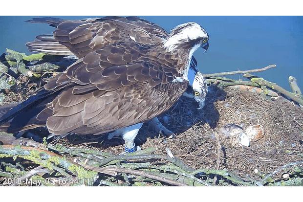Rutland osprey Maya on nest. © Rutland Water Nature Reserve